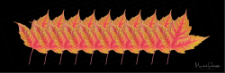 10MapleLeaves.png