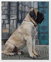 Mastiff1.jpg