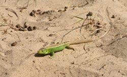 sand lizard.jpg