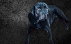 black lab edited V3.jpg