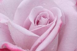 Rose-Sample-image.jpg