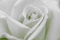 Rose-Sample-image-1.jpg