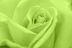 Rose-Sample-image-2.jpg