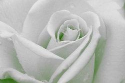 Rose-Sample-image-adj.jpg