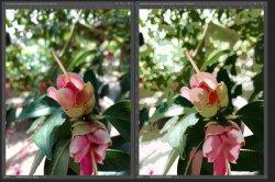 red flower side by side.JPG